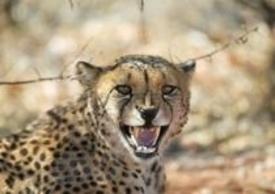 Un ghepardo fotografato in Namibia